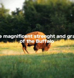 The magnificent strenght and grace buffalo